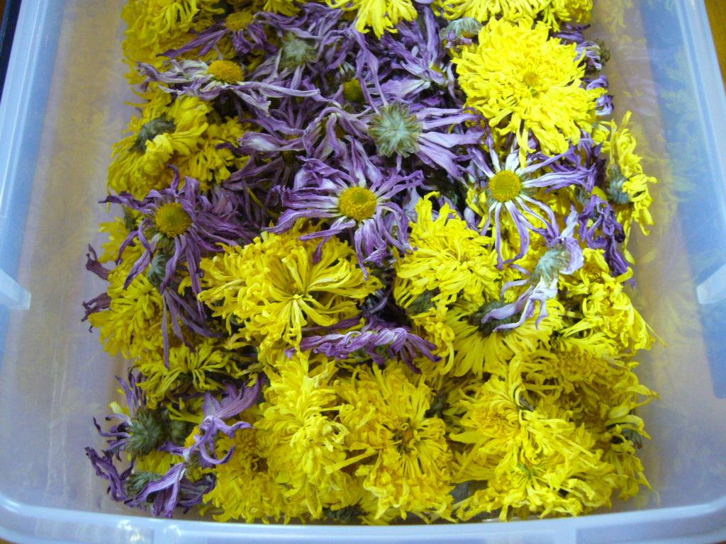 食用菊の乾燥