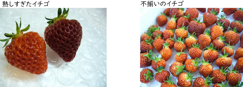 熟しすぎたイチゴと不揃いのイチゴ